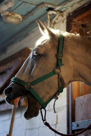 Denti di cavallo №36595