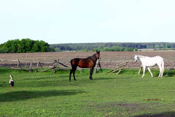 Stork walks near horses №36808
