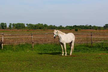 White horse walks №36818