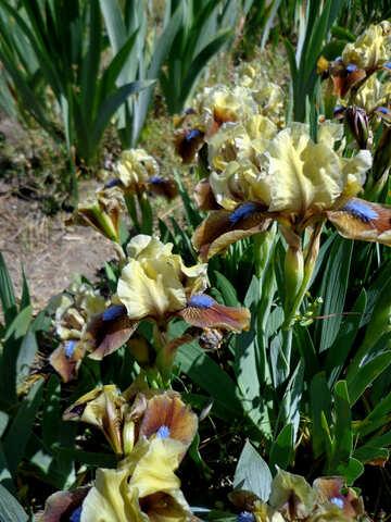 Flowers colorful irises №36843