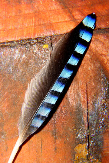 Jay feather №36228