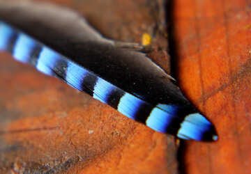 Blue feather №36227