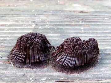 Tree fungus №36185