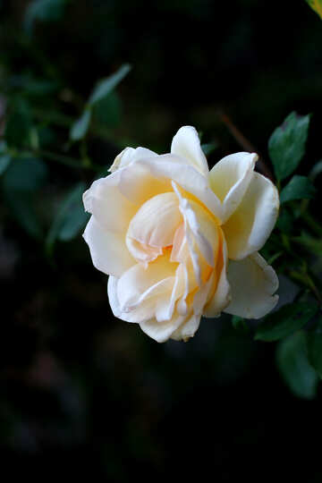 White Rose n dark background №36141