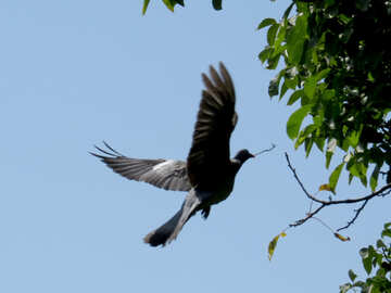 Left Dove builds nest №36994