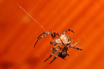 Spider №36218