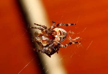 Spider è sacrificio №36217