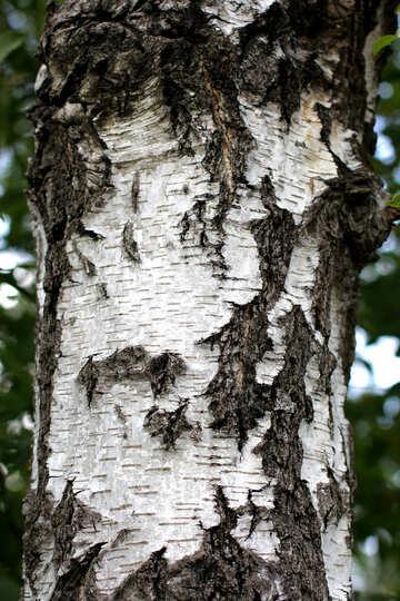 Birch bark texture №36148