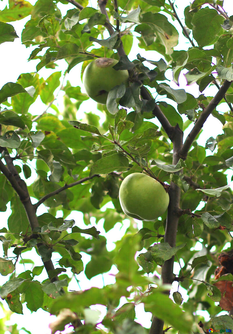 Manzano con manzanas №36126