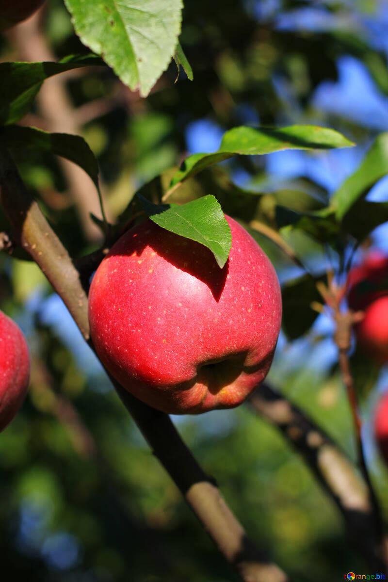 Apple on tree №36966