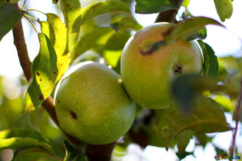 Pommes vertes №36954