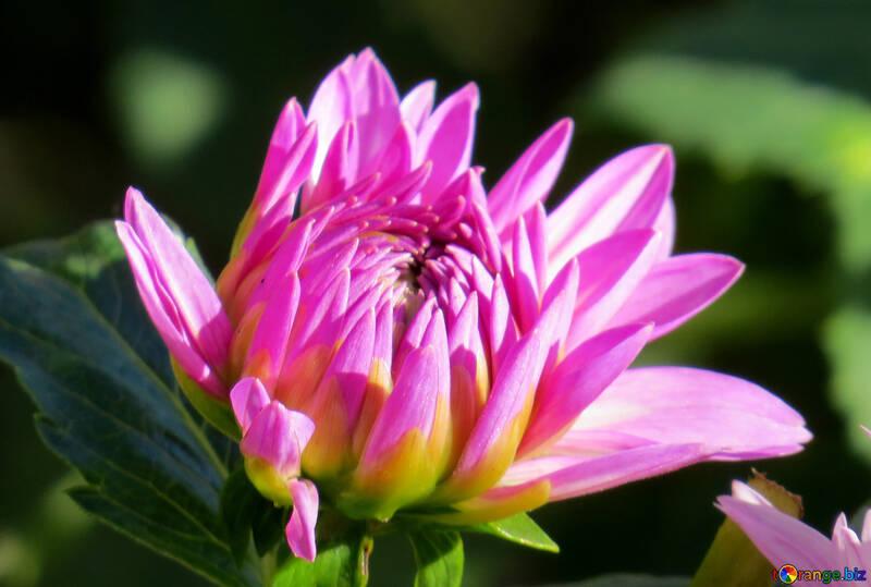 Helle Blume №36101