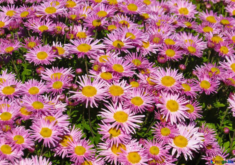 Fondo de crisantemos №36909