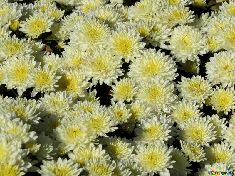 Background color of Chrysanthemum №36897