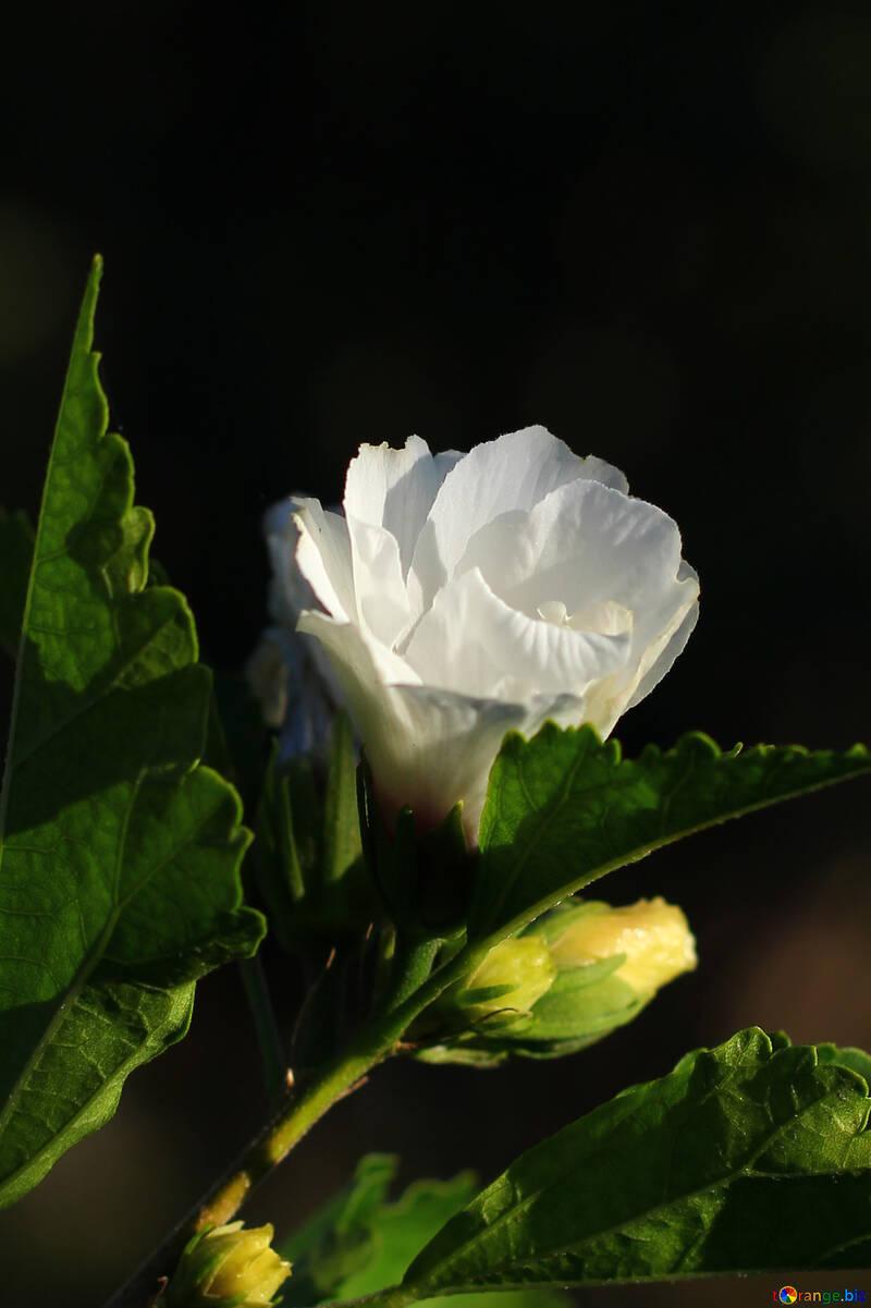 Un fondo oscuro con flor blanca №36935