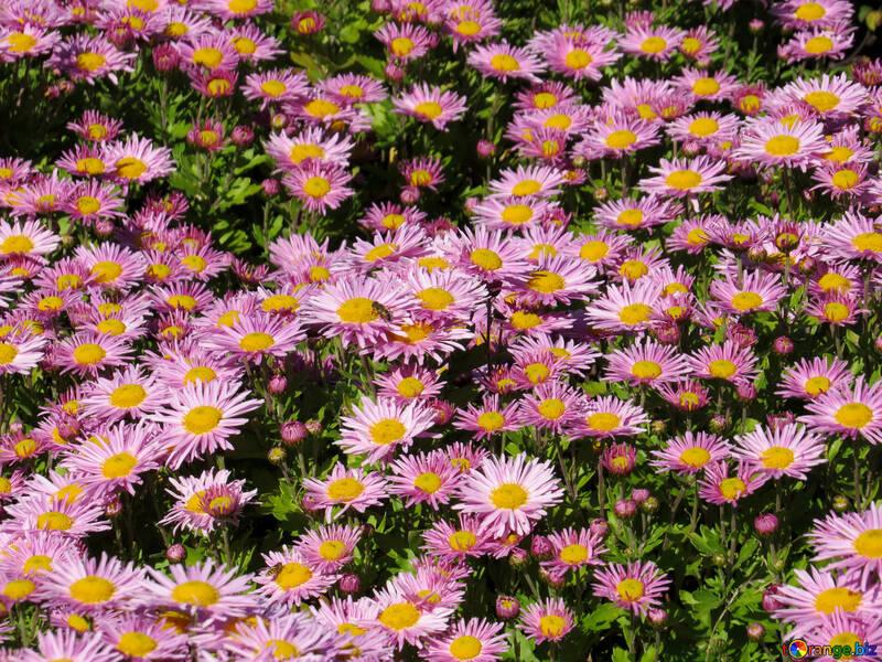 Chrysanthemum №36907