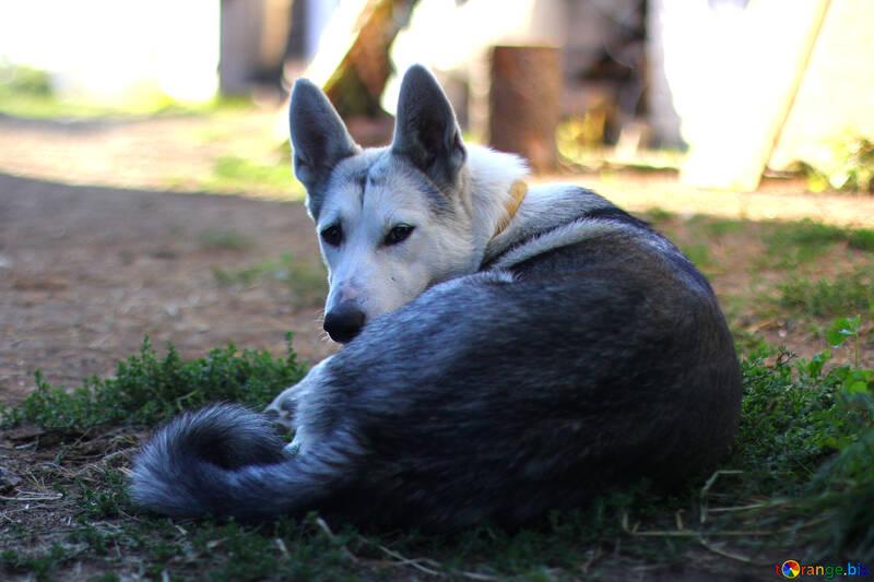 Dog lies №36856