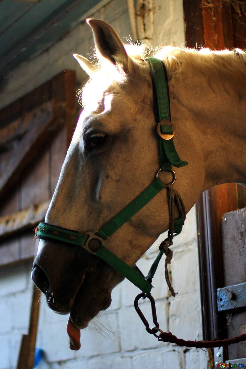 Museau de cheval №36593