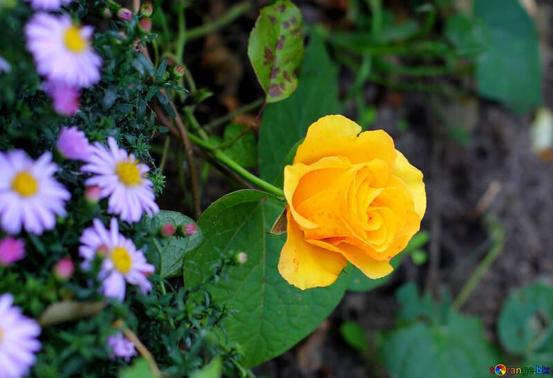 Rose jaune №36142