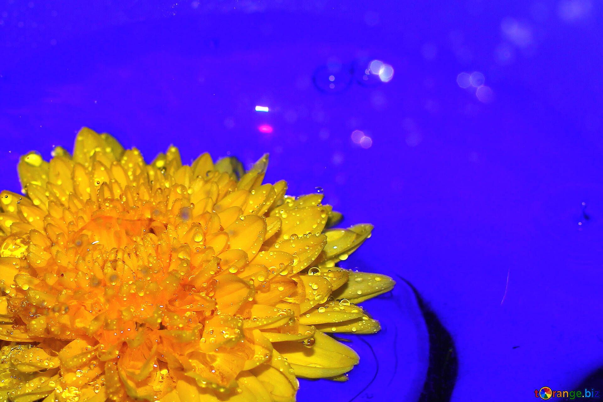 Flower In Cup Blue Background With Yellow Flower Summer 37275