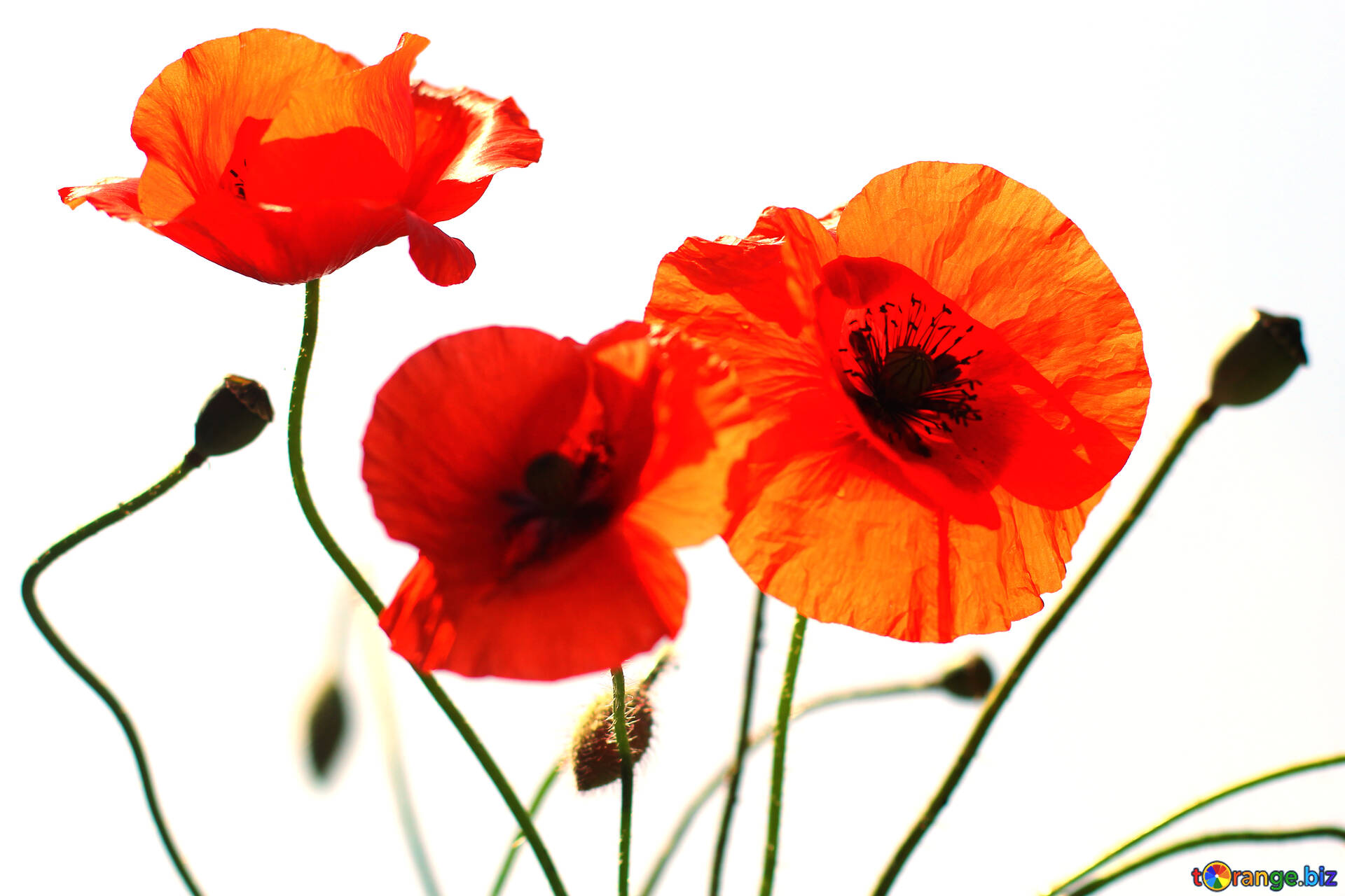Flowers poppies isolated on a white background flowers of the download free image flowers of the poppies in hd wallpaper size 1920px mightylinksfo