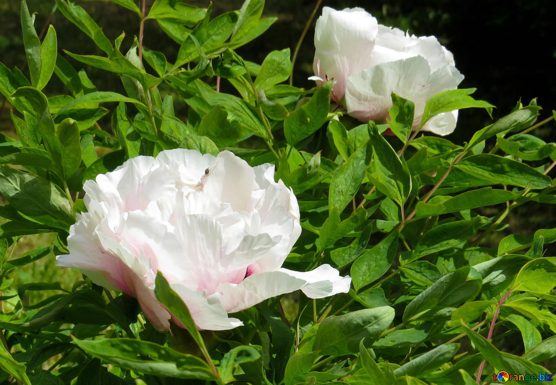 White flowers a flowering bush white flowers flower 37321 a flowering bush white flowers mightylinksfo