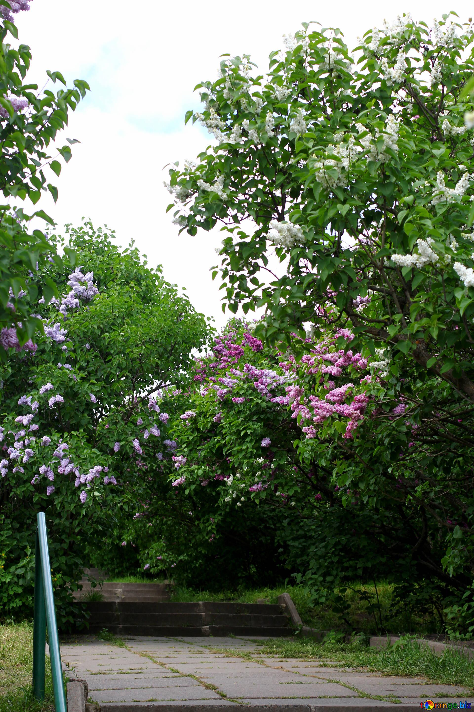 Albero Di Lillà lillà nel giardino botanico scala nel giardino della città
