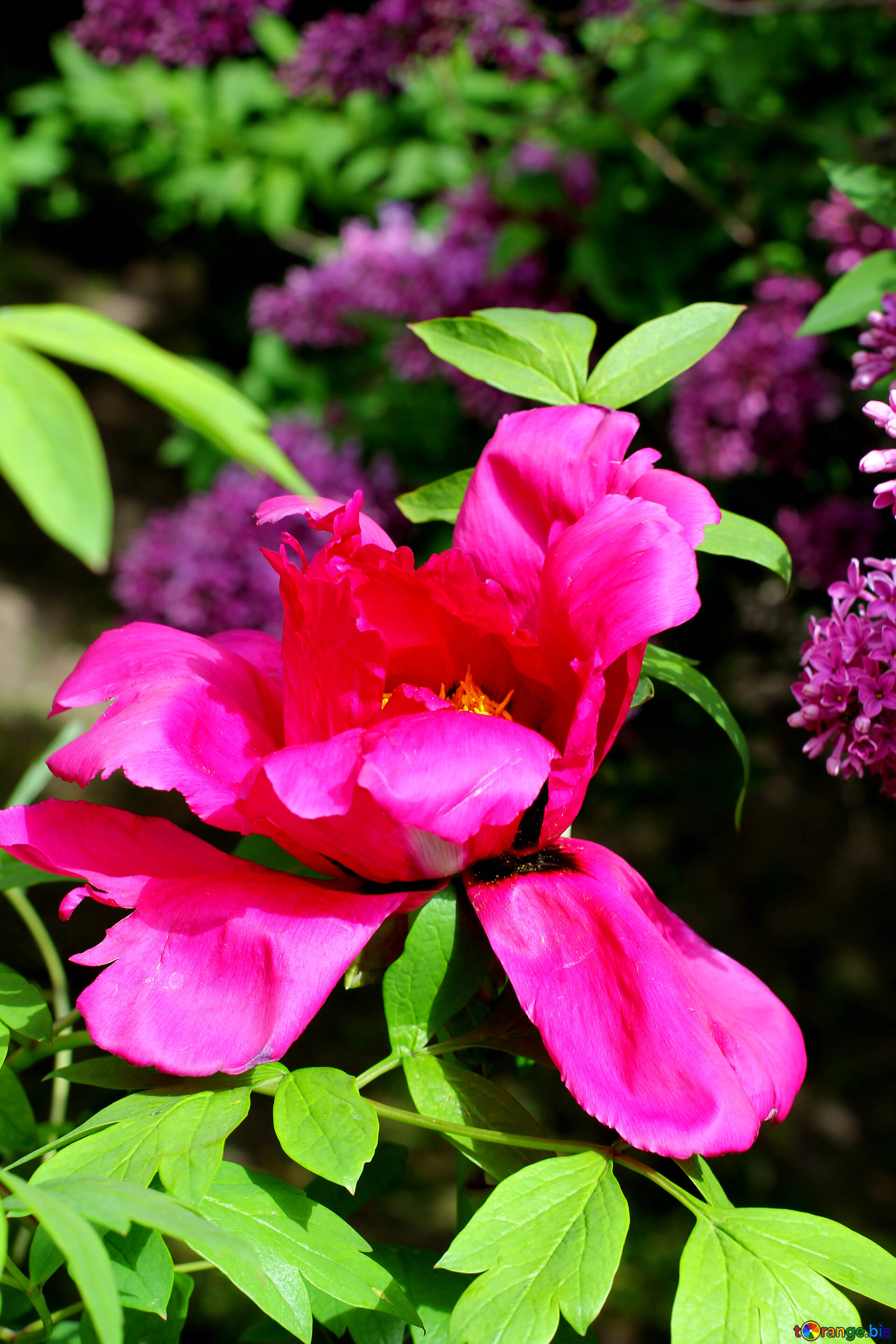 Flowers Peonies Tree Beautiful Flower Park 37536