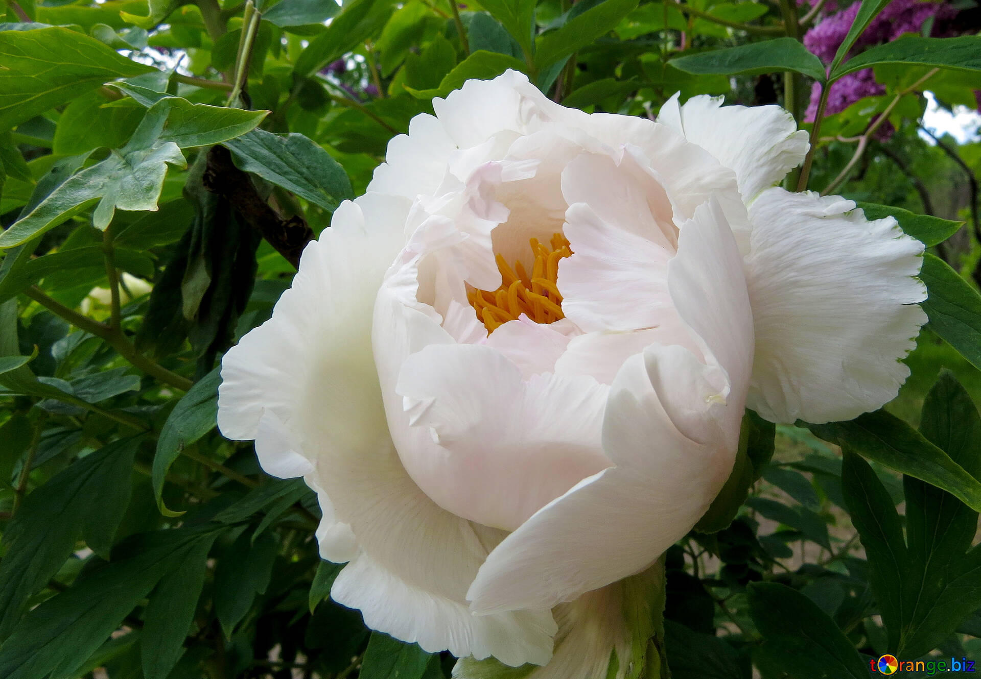 Flowers Peonies Tree Big White Flower Park 37337