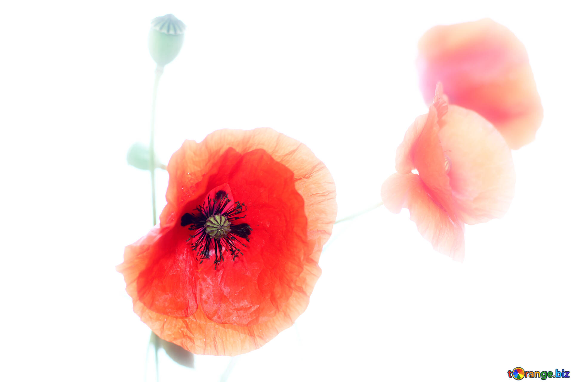 Flowers Poppies Isolated On A White Background Blossoms Of Poppies