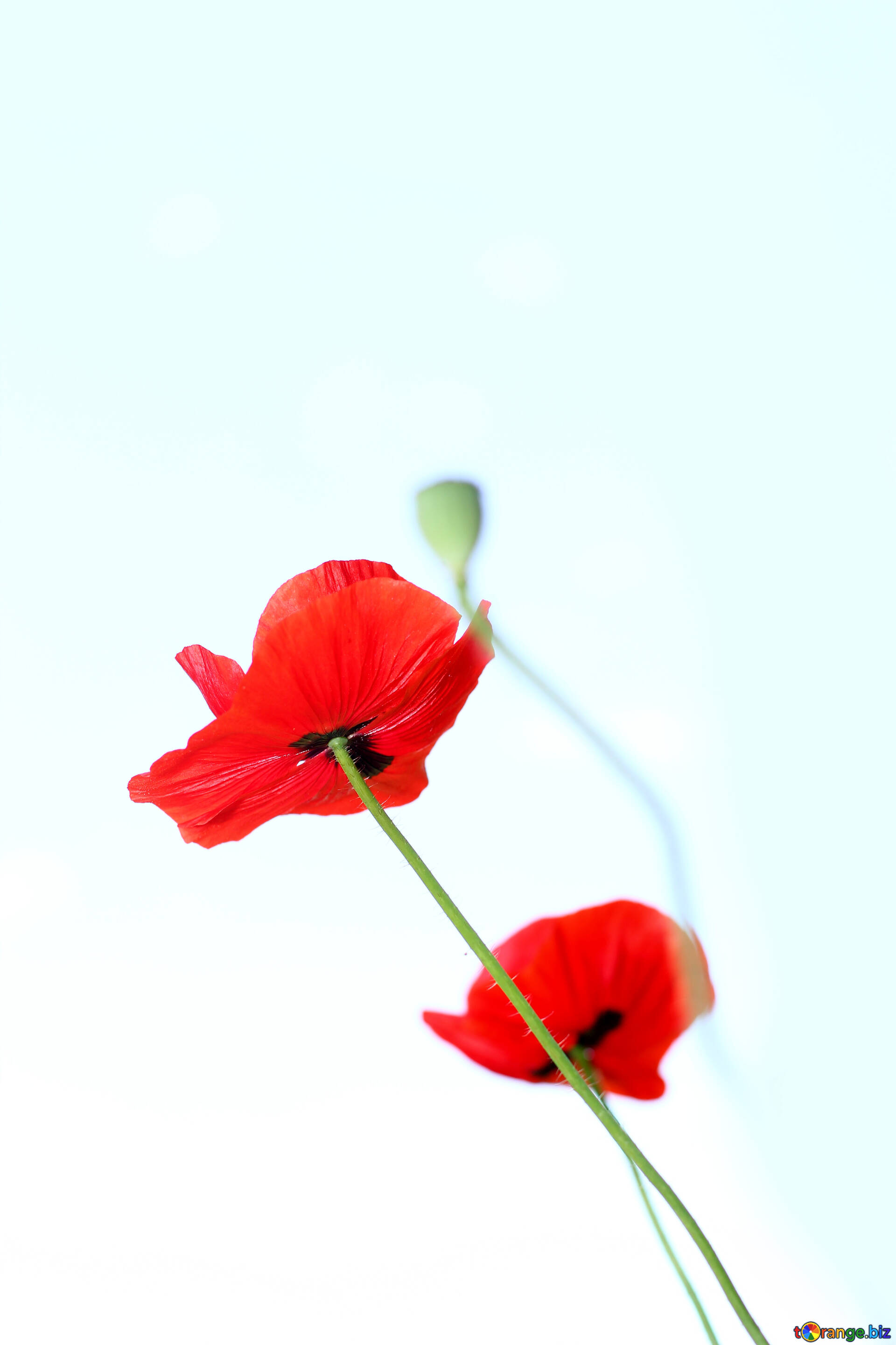 Flowers Poppies Isolated On A White Background Poppy Flowers With No