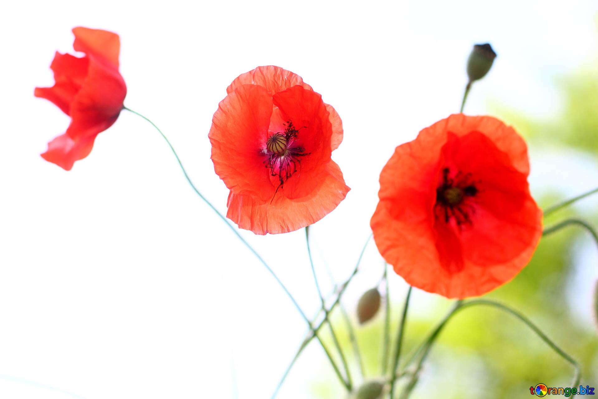 Цветы маки открытка