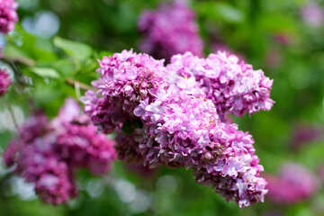 A branch of blossoming lilac №37586