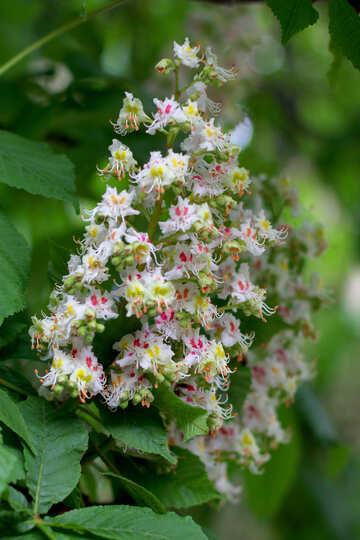 Bel fiore di castagno №37663