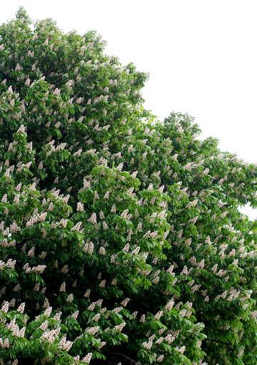 Chestnut blossoms №37671