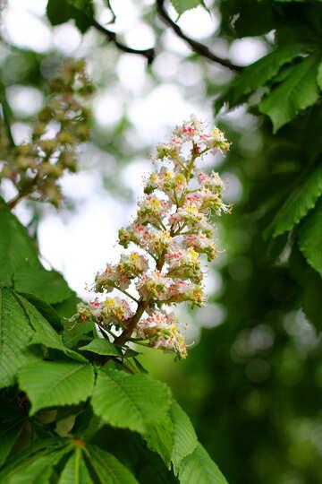 Il fiore di castagno №37666