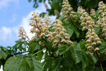 Castagno albero fioritura №37628