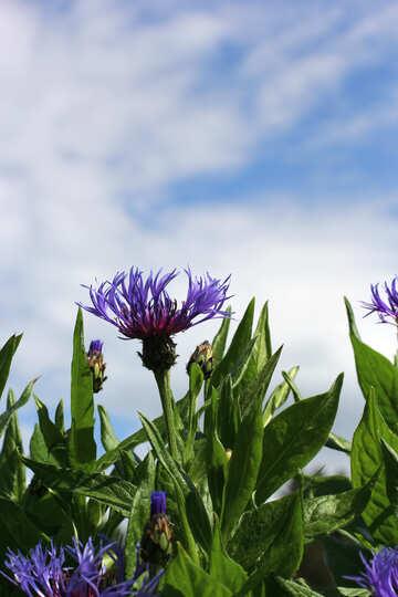 Cornflower №37723