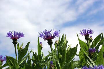 Flower cornflower №37722