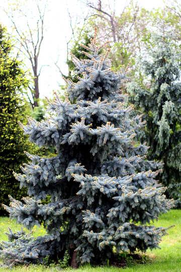 Blue spruce №37674