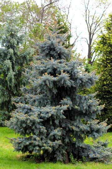 Spruce №37675