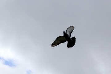 Dove in Flight №37367