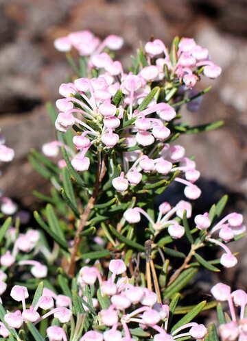 Flower Andromeda plant №37726
