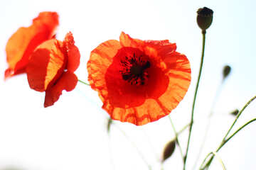 Poppy flowers in isolation №37096