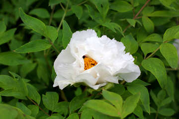Tree peony flowers №37548