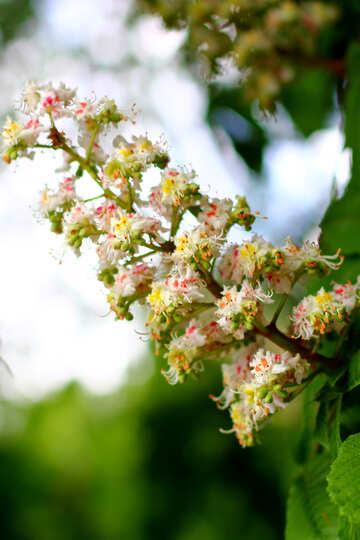 Fiore di Ippocastano №37667