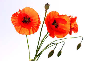 Bouquet of poppies in isolation