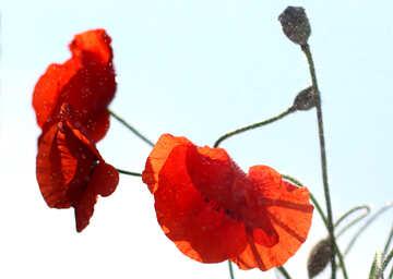 Poppy in isolation №37066