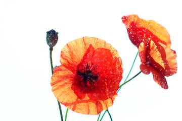 Poppy in isolation №37089
