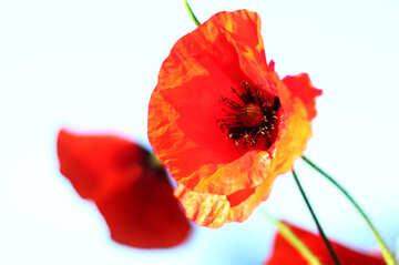 Poppy flower isolated №37042